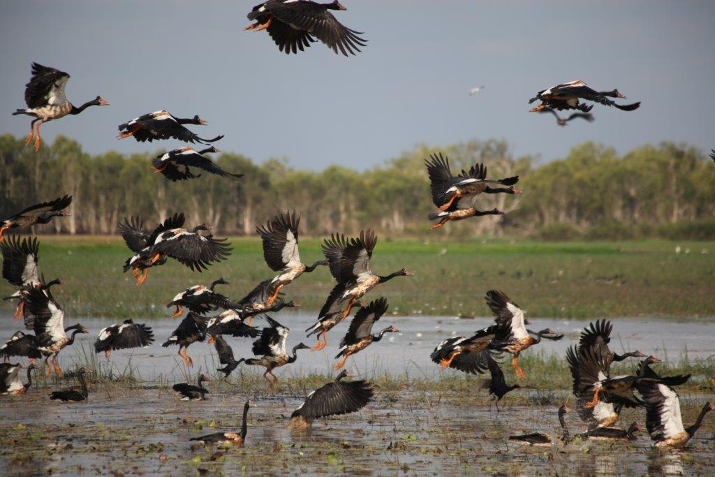 Magpie geese taking off over floodplain