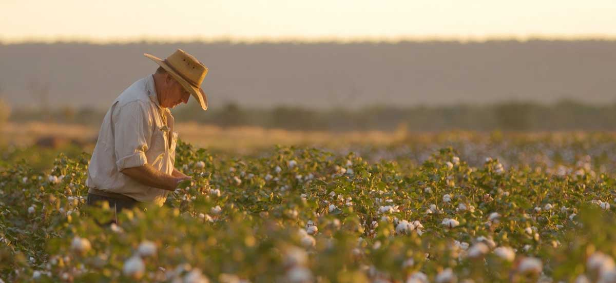 David Connolly inspecting cotton crop