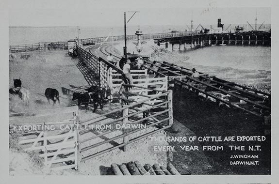 Cattle being loaded on boats at Darwin wharf circa 1925